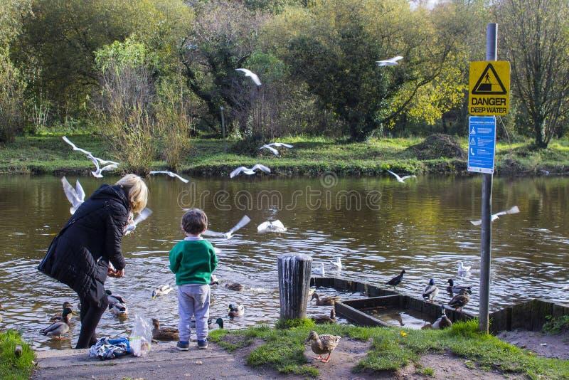 祖母和她激动的孙子喂养鸭子在萧伯纳在河Lagan的` s桥梁在南贝尔法斯特在北爱尔兰 库存照片