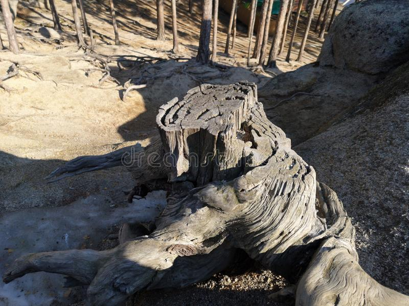 神仙的树桩在山腰的森林里 免版税图库摄影
