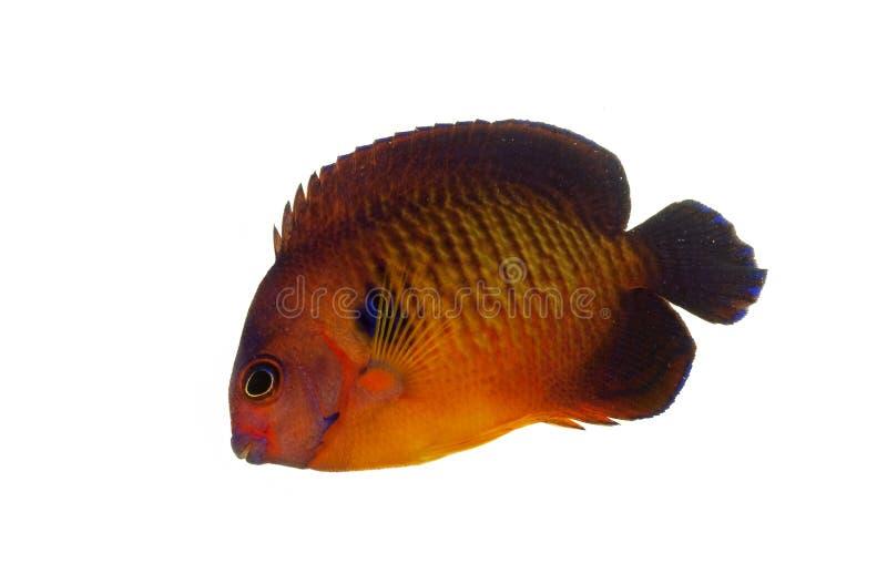 神仙鱼秀丽珊瑚 库存照片