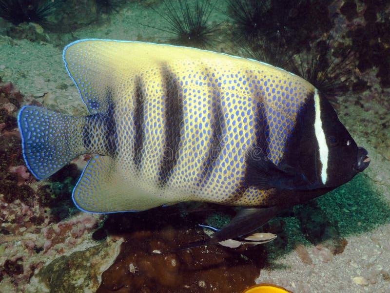 神仙鱼被结合的pomacanthus sexstriatus六 库存照片