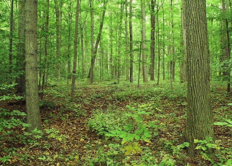 神圣的树丛 图库摄影
