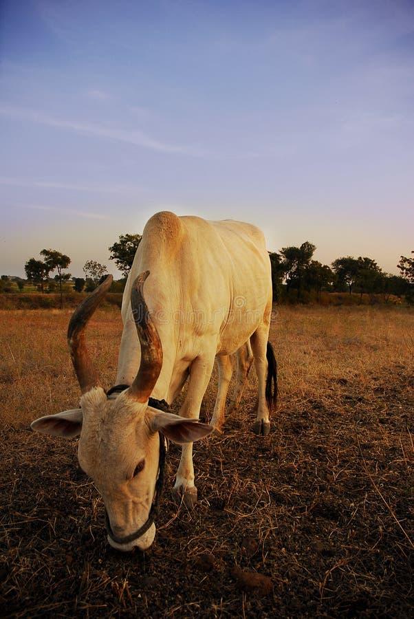 神圣的母牛 免版税库存图片