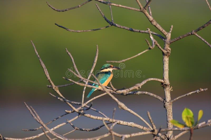 神圣的翠鸟 库存图片