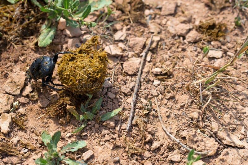 神圣的金龟子唯一圣甲虫sacer在地面的 库存照片