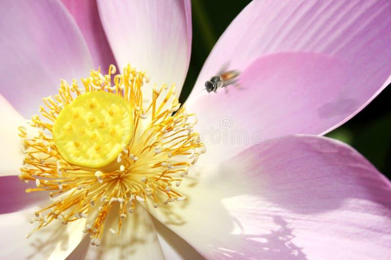 神圣花的莲花 免版税库存照片