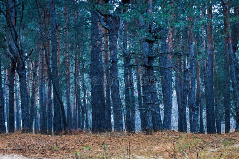 神奇和意想不到的杉木森林 库存照片