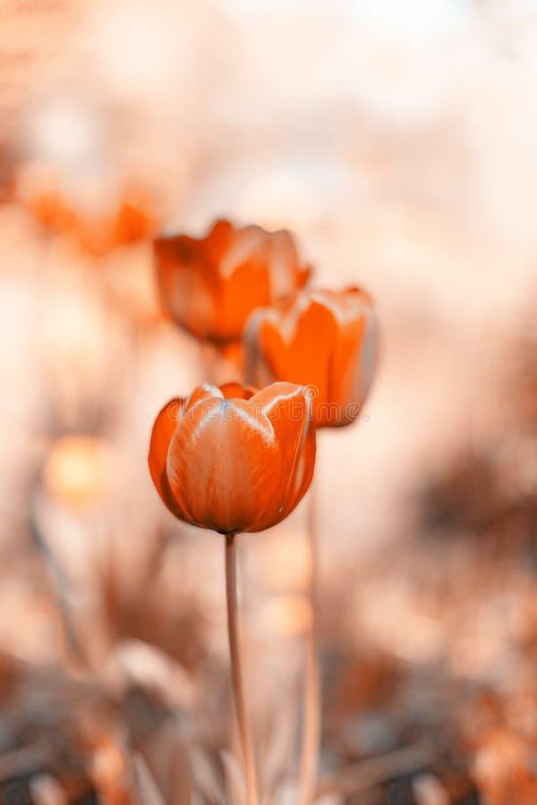 神奇橙色郁金香 抽象背景春天 被定调子的照片 选择聚焦 库存图片
