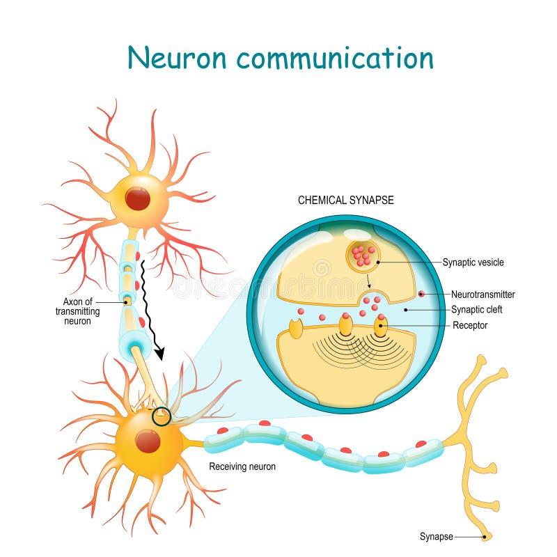 神经信号的传输在两个神经元之间的以轴突和突触 化工突触的特写镜头 皇族释放例证