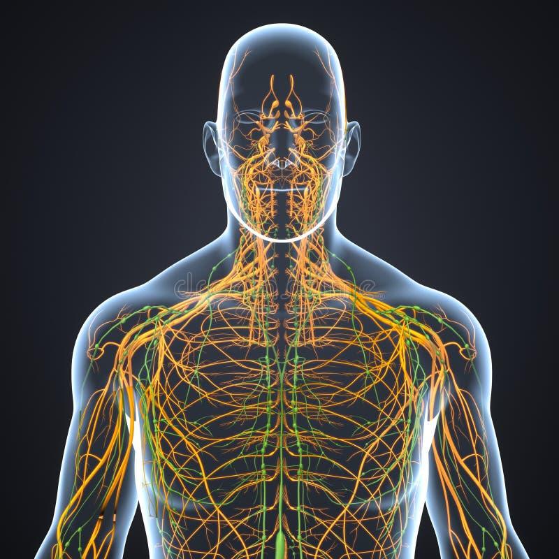 神经和淋巴结有身体先前视图 皇族释放例证