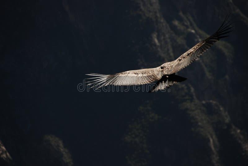 神鹰在秘鲁 免版税库存照片