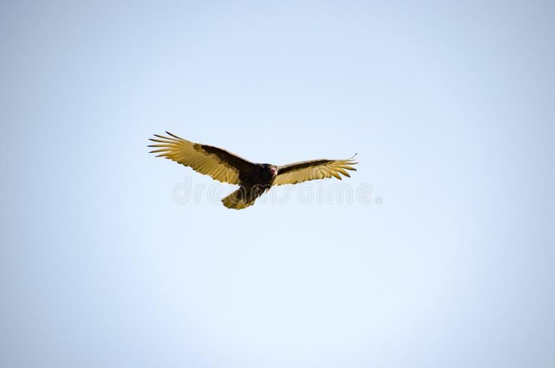 神鹰在飞行中肉食鸟 库存照片