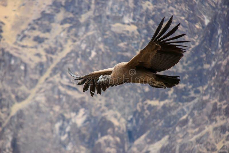 神鹰飞行上流在科尔卡峡谷 免版税库存图片