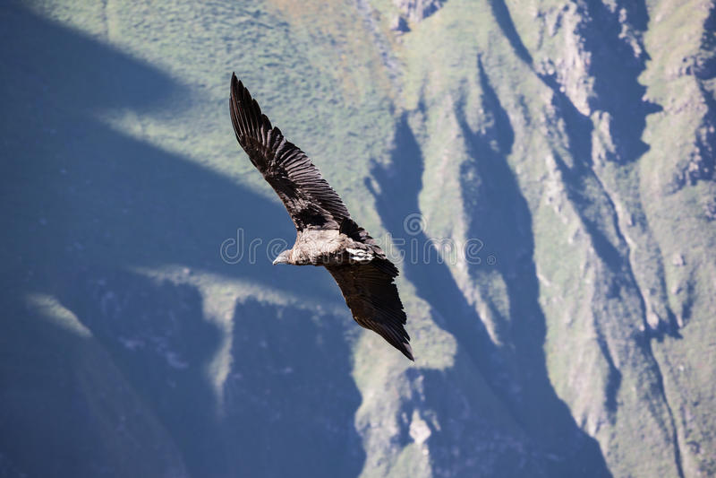 神鹰飞行 库存图片