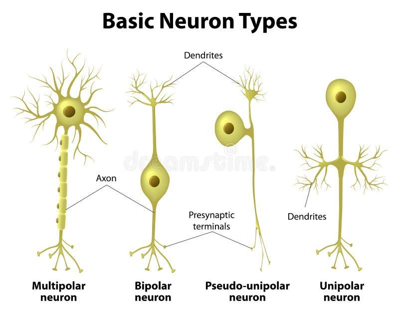 神经元的类型 皇族释放例证