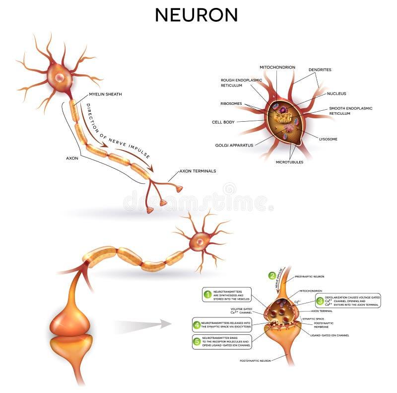神经元详细的解剖学 库存例证