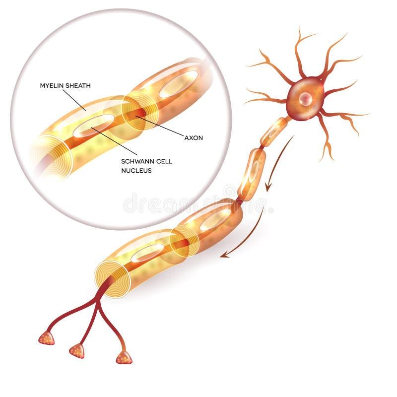 神经元髓鞘 库存例证