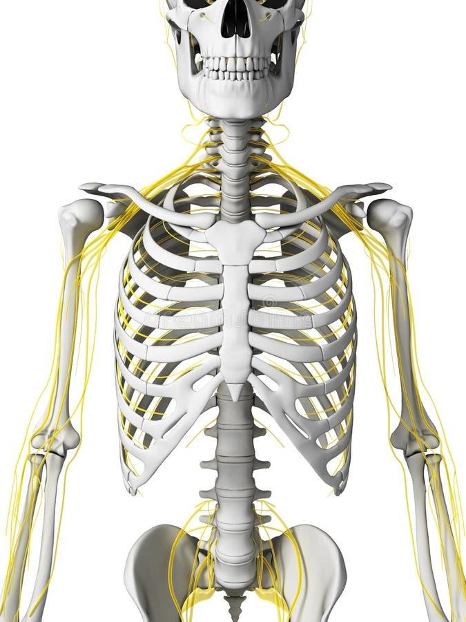 神经和骨骼 库存例证