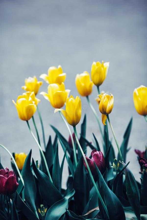 神仙的梦想的不可思议的黄色紫色郁金香开花与深绿叶子,定调子与在减速火箭的葡萄酒样式的instagram过滤器 免版税图库摄影
