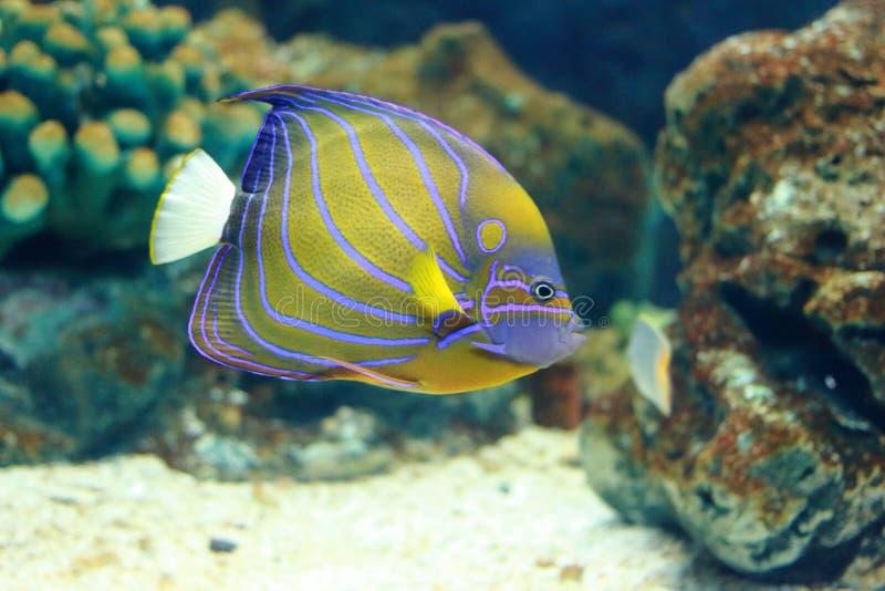 神仙鱼蓝色鱼环形海运 库存图片