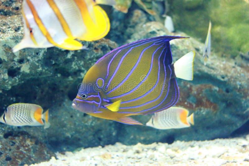神仙鱼蓝色鱼环形海运 免版税库存照片