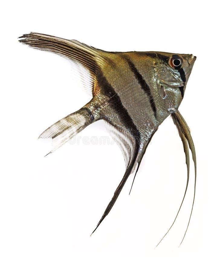 神仙鱼(Pterophyllum scalare) 免版税库存照片