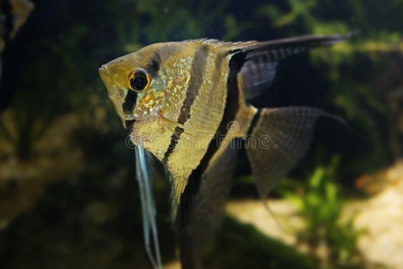 神仙鱼Pterophyllum scalare 免版税库存照片