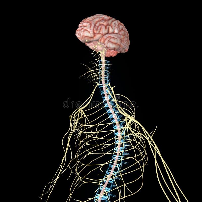 神经系统 皇族释放例证