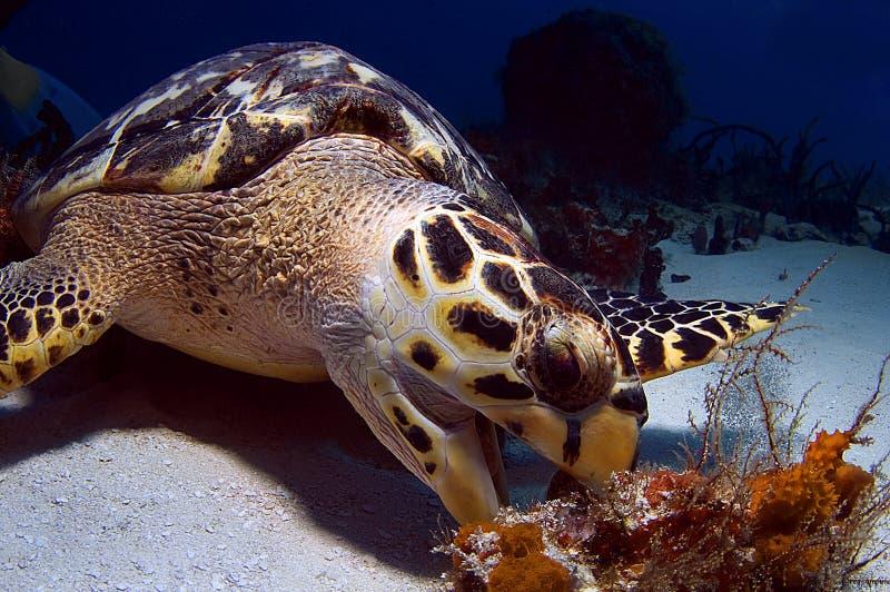 票据好战海龟 库存照片