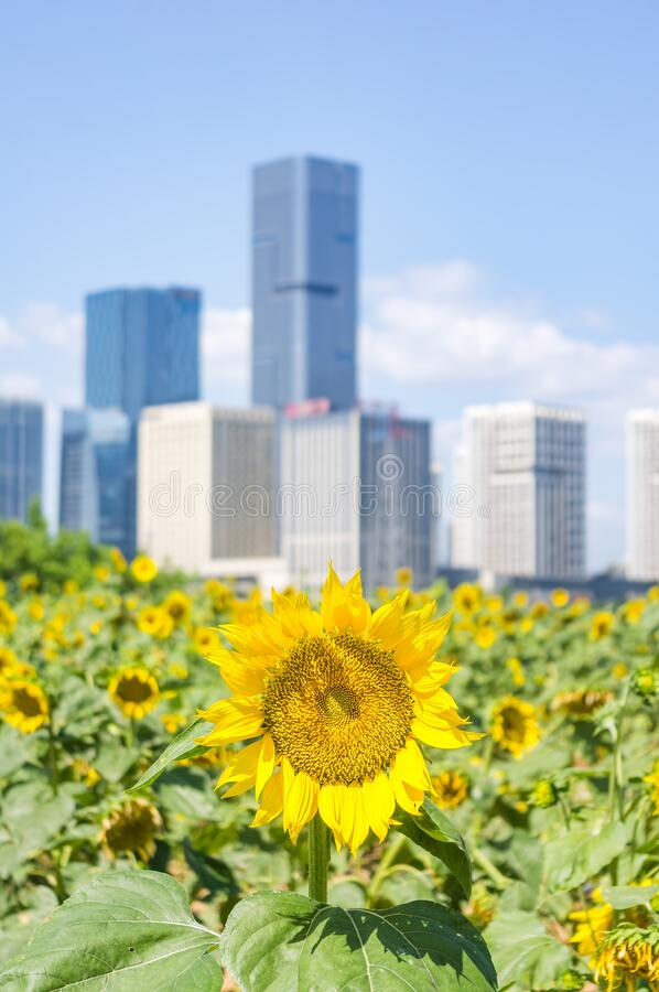 福州市景背景田间鲜花向日葵 免版税库存照片