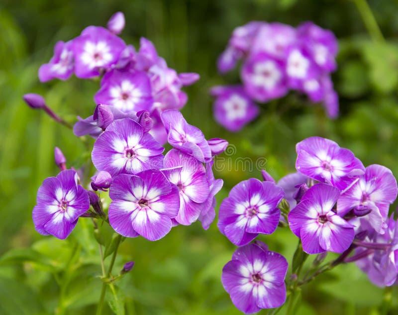 福禄考淡紫色与白色核心 免版税库存照片