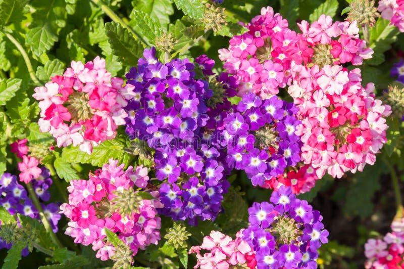 福禄考paniculata,在绽放的庭院福禄考 图库摄影