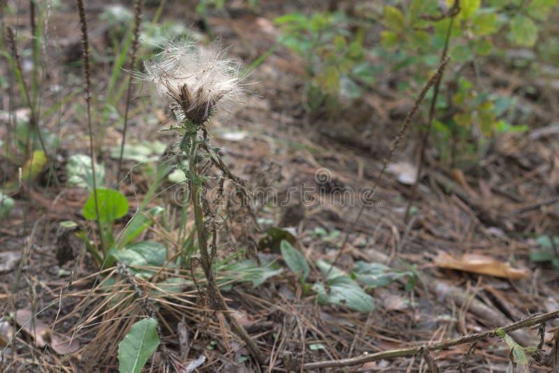 离去从成熟蓟的绒毛 秋天的细节为 库存照片