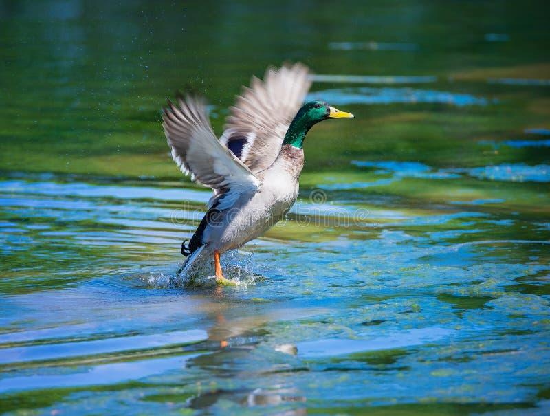 离开从湖的公野鸭鸭子 库存图片