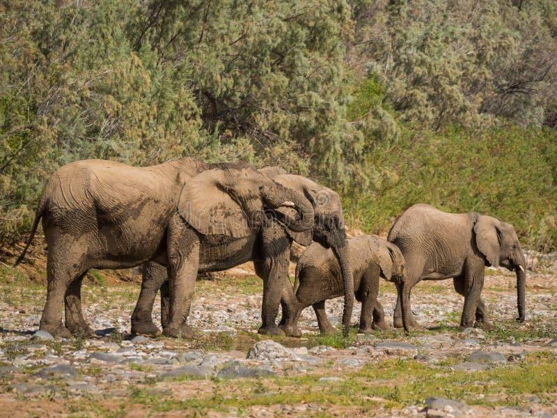 离开喝从水水坑的大象家庭在Hoarusib河床,纳米比亚,南部非洲上 免版税库存照片