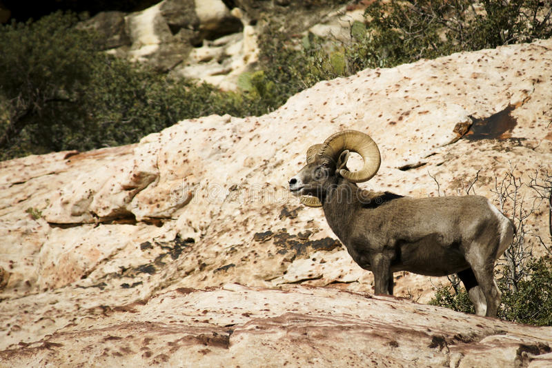 离开在红色岩石NCA内华达的大角野绵羊 库存照片