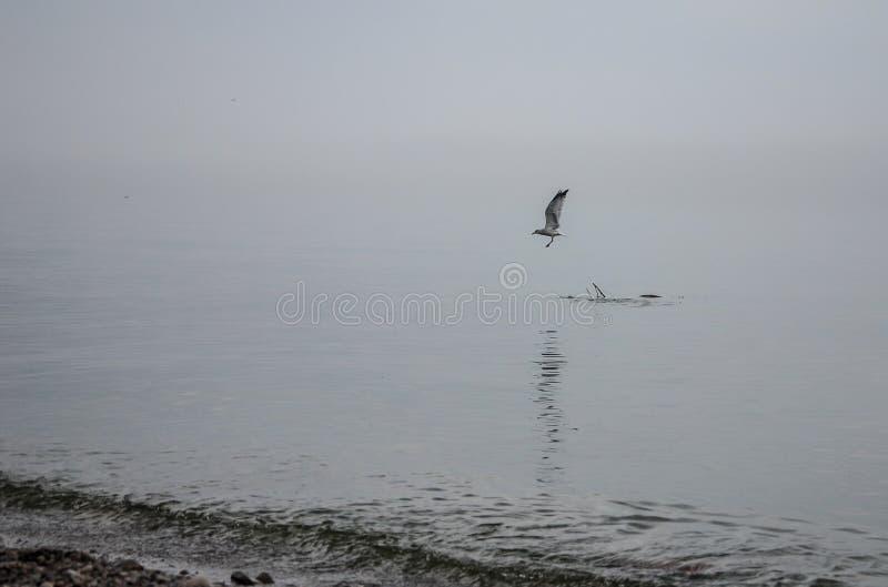 离开在飞行中从一个浮动分支的海鸥 免版税图库摄影