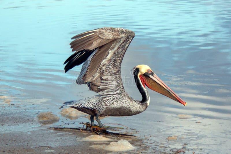 离开在飞行中在维特纳海滩的鹈鹕在加利福尼亚的戈尔德比尤特的圣塔克拉拉河沼泽地旁边在美国 免版税库存照片