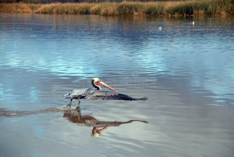 离开在飞行中在维特纳海滩的鹈鹕在加利福尼亚的戈尔德比尤特的圣塔克拉拉河沼泽地旁边在美国 免版税库存图片