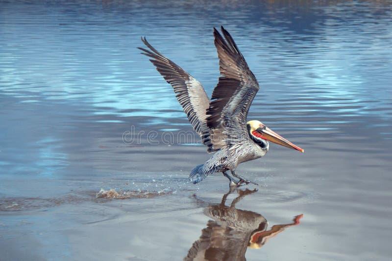 离开在飞行中在维特纳海滩的鹈鹕在加利福尼亚的戈尔德比尤特的圣塔克拉拉河沼泽地旁边在美国 库存照片