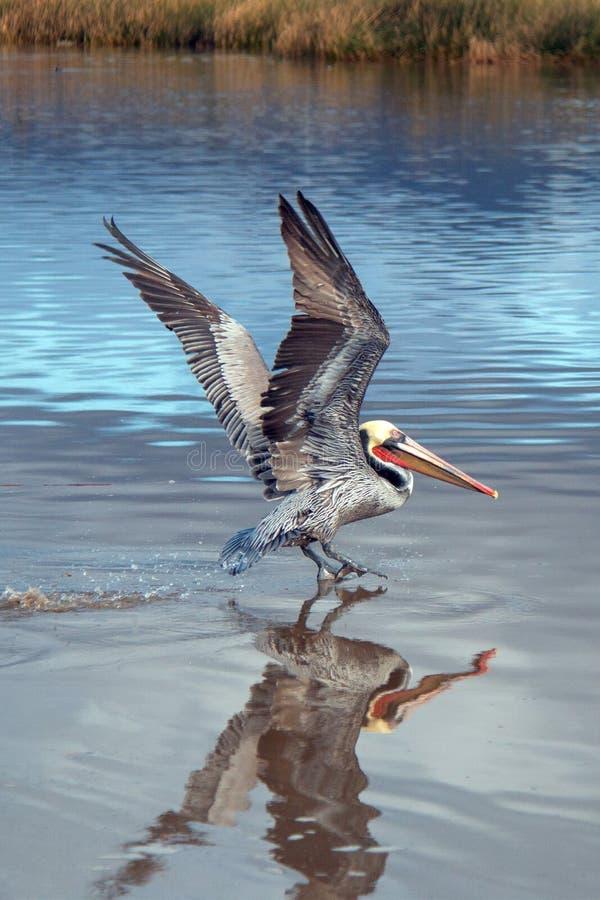 离开在飞行中在维特纳海滩的鹈鹕在加利福尼亚的戈尔德比尤特的圣塔克拉拉河沼泽地旁边在美国 库存图片