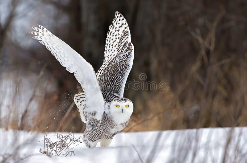 离开斯诺伊猫头鹰腹股沟淋巴肿块的scandiacus寻找在一个积雪的领域在加拿大 库存图片