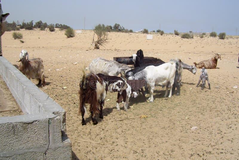 离群山羊在搜寻食物的沙特阿拉伯沙漠 库存图片