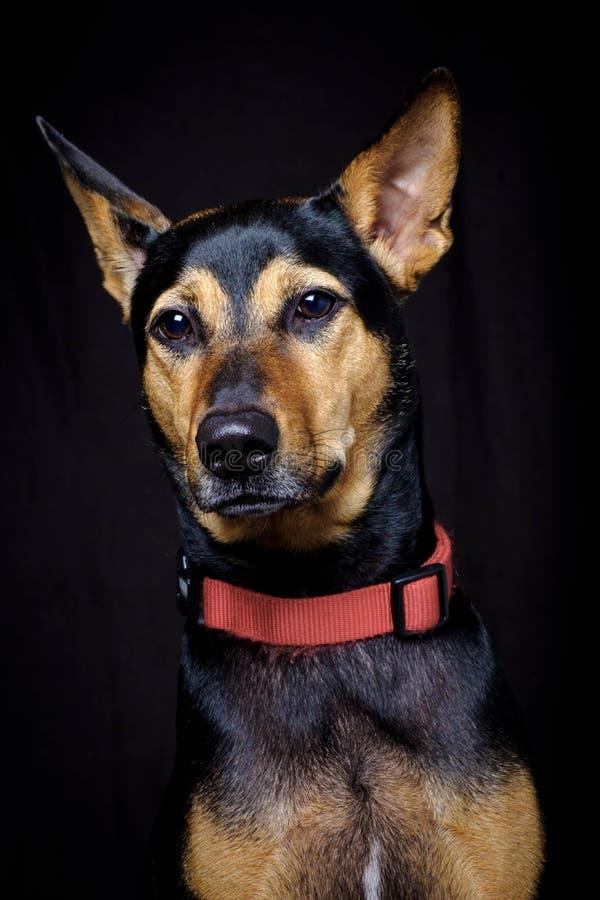 离群杂种动物抢救了休息软的黑背景的泰国狗 免版税库存照片
