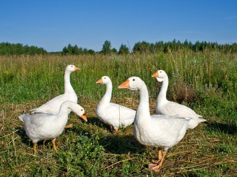 禽畜鹅 免版税库存图片