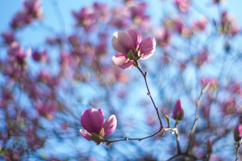 秀丽包含的阴物和温和 开花的木兰树 在开花的木兰花 开花的结构树 免版税库存照片