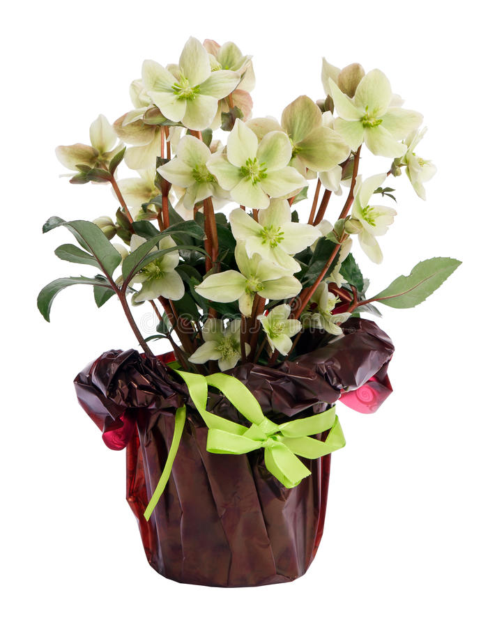 秀丽嚏根草属盆的白色 免版税图库摄影
