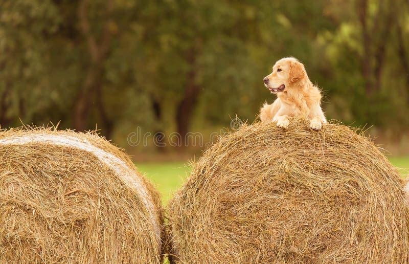 秀丽在干草捆的金毛猎犬狗 库存照片