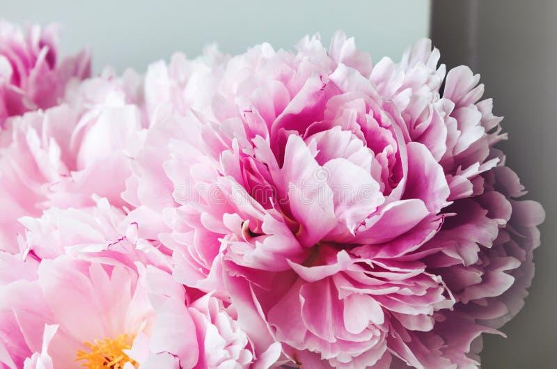 秀丽桃红色牡丹牡丹玫瑰花宏指令 淡色花卉墙纸,从瓣的背景 假日婚礼概念 库存照片