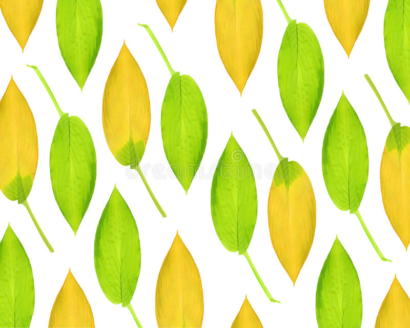 秀丽玉簪属植物叶子 库存图片