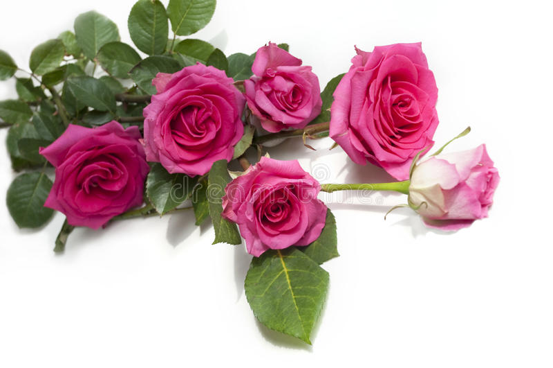 秀丽玫瑰 免版税库存图片